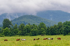 Pferde, die Gras essen Stockfotografie
