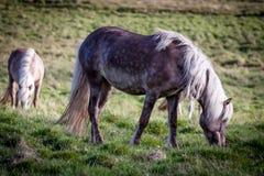 Pferde, die Gras in Island essen Stockfotos