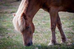 Pferde, die Gras in Island essen Lizenzfreies Stockbild
