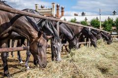Pferde, die Heu essen Lizenzfreies Stockfoto