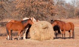 Pferde, die Heu weg von einem großen Rundballen essen Stockbilder