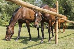 Pferde, die hinter einem Bretterzaun weiden lassen Stockbild