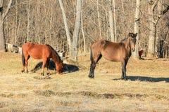 Pferde, die im Frühjahr weiden lassen Stockfotografie
