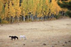 Pferde, die im Herbst weiden lassen Lizenzfreie Stockfotos