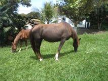 Pferde, die im hohen Gras weiden lassen stockbild