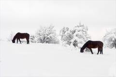 Pferde, die im Winter weiden lassen Stockfoto