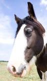 Pferde, die Kamera untersuchen Lizenzfreie Stockbilder