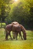 Pferde, die Kamera untersuchen Stockfotografie