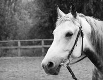 Pferde, die Kamera untersuchen Stockbilder