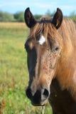 Pferde, die Kamera untersuchen Lizenzfreie Stockfotografie