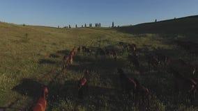 Pferde, die in LangsammO galoppieren stock video footage