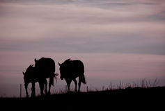Pferde, die nach Hause kommen Lizenzfreie Stockfotografie