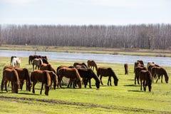 Pferde, die nahe bei dem Fluss Strymon weiden lassen Lizenzfreie Stockfotos