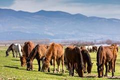 Pferde, die nahe bei dem Fluss Strymon weiden lassen Stockbilder