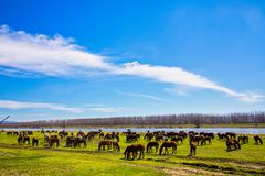 Pferde, die nahe bei dem Fluss Strymon weiden lassen Lizenzfreie Stockbilder