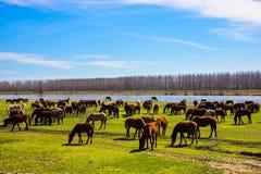 Pferde, die nahe bei dem Fluss Strymon weiden lassen Lizenzfreies Stockbild
