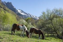 Pferde, die ruhig in einer Weide auf einem Bauernhof weiden lassen lizenzfreie stockfotografie
