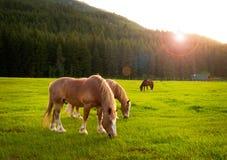 Pferde, die am Sonnenuntergang weiden lassen Stockfotos