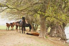 Pferde, die unter Bäumen durch den Fluss stillstehen Stockfotografie