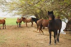 Pferde, die unter Bäumen durch den Fluss stillstehen Lizenzfreie Stockfotos