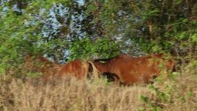 Pferde, die in Wald gehen stock footage