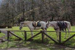Pferde, die warten, um zu reiten Stockfoto