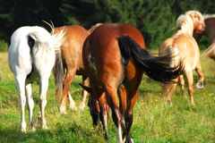 Pferde, Dolomit, Italien, August 2007 Stockfotografie
