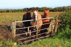 Pferde durch ein Gatter Stockbild