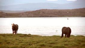 Pferde durch einen See stock footage