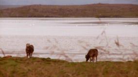 Pferde durch einen See Fokus gezogen stock video footage