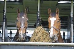 Pferde in einem Anhänger Stockbilder
