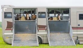 Pferde in einem Anhänger Stockfotos