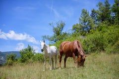 Pferde an einem Feld in den Alpen Stockfoto