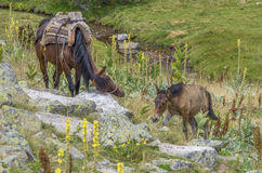 Pferde in einem grünen Berg Stockfotos