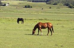 Pferde in einer Weide Stockfoto