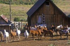 Pferde an fauler Ranch T, Aspen, Co, kastanienbraune Bell stockfotos
