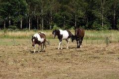 Pferde in Folge in einer Wiese Lizenzfreies Stockbild