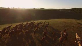 Pferde galoppieren auf Gras stock footage