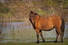 Pferde geben auf einem Feld in Argentinien frei Lizenzfreie Stockfotos
