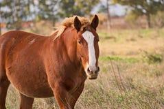 Pferde geben auf einem Feld in Argentinien frei Stockfotografie