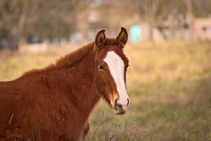 Pferde geben auf einem Feld in Argentinien frei Stockbild