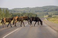Pferde gehen Großes Herbstfeld mit Bäumen weit weg und Wolken im blauen Himmel Quadratische Anordnung des Personals reisen Stockbild