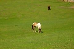 Pferde in Grönland Lizenzfreie Stockfotos