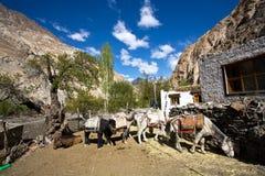 Pferde im compund des Hauptaufenthalts bei Markh, Markha-Wanderung, Markha-Tal, Ladakh, Indien Lizenzfreie Stockbilder