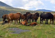 Pferde im Gras in den Pyrenäen lizenzfreies stockbild