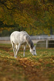 Pferde im Herbst Lizenzfreies Stockfoto