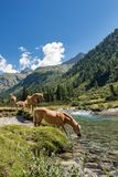 Pferde im Nationalpark von Adamello Brenta - Italien Lizenzfreie Stockfotografie