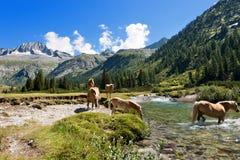 Pferde im Nationalpark von Adamello Brenta - Italien Stockfoto
