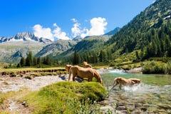 Pferde im Nationalpark von Adamello Brenta - Italien Stockbild