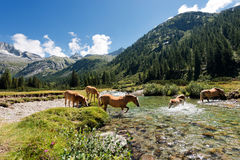Pferde im Nationalpark von Adamello Brenta - Italien Stockbilder